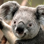 Does the Life of a Koala Appeal To You?